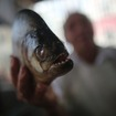 Fish Vendor Pleads Guilty To Importing 40,000 Piranha