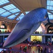 Why Hasn't That AMNH Whale Ever Fallen From The Ceiling?