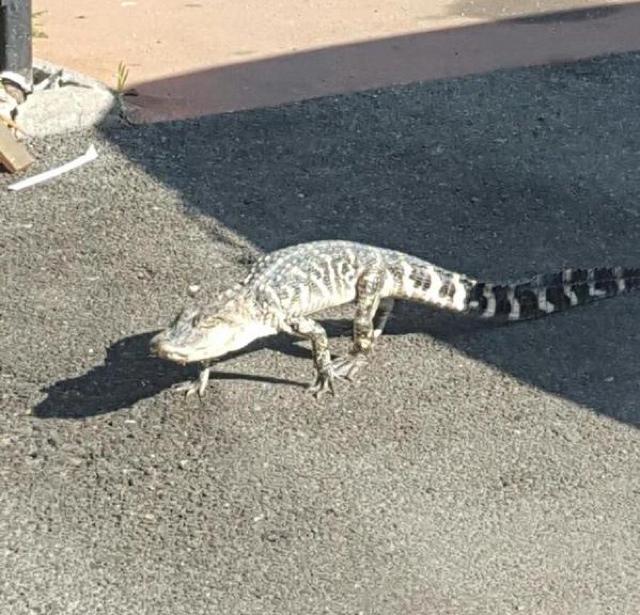 UPDATE: Alligator Found On Manhattan Street Has Died
