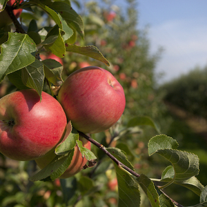 Off To The Orchard: 5 Great Places To Pick Apples Near NYC