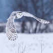 Airports Can Execute Snowy Owls To Their Hearts' Content, Court Rules