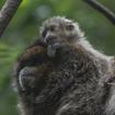 Video: Adorable Gray Monkey Baby Makes Debut At Bronx Zoo