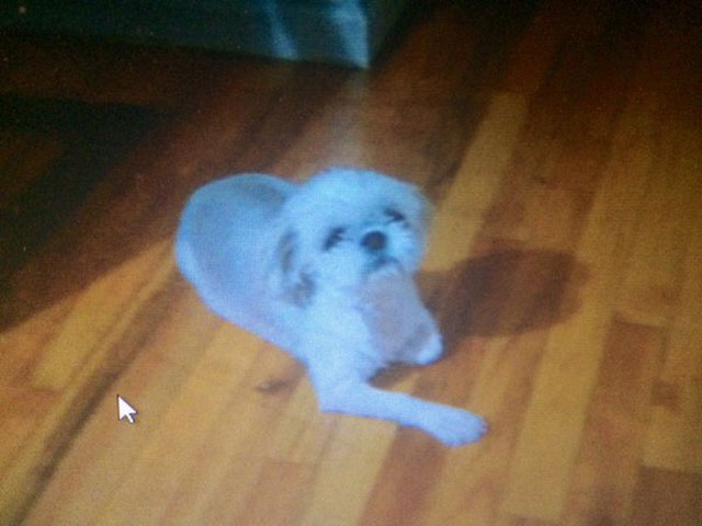 Police Fatally Shoot Pit Bull That Mauled Shih Tzu To Death