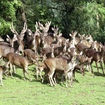 Experts Call City\'s Deer Vasectomy Plan \