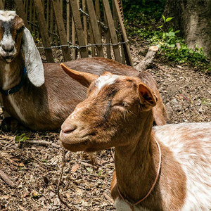 Photos: These Goats Are Now Roaming Prospect Park