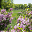 See And Smell Blooming Lilacs At The New York Botanical Garden