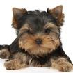 Video: Yorkshire Terrier Puppy Stolen From Bronx Pet Store
