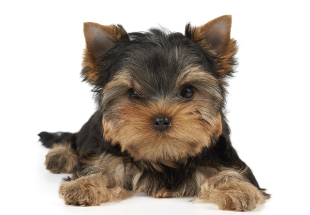 Video: Yorkshire Terrier Puppy Stolen From Bronx Pet Store