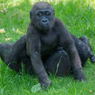 Photos: Those Adorable Bronx Zoo Gorilla Babies Are Now Toddlers!