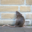 1 Dead, 2 Sickened By Rare Rat-Carried Disease In The Bronx
