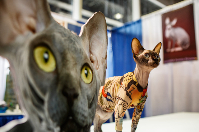 Photos: Cats Finally Arrive At The Westminster Dog Show