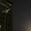 Manhattan Seagulls, What's Their Deal?
