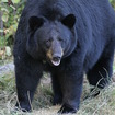 Video: Mighty Bear Easily Crushes Pathetic Steel Birdcage In Westchester Backyard
