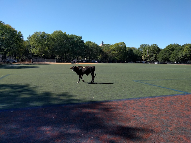 [UPDATES] Escaped Cow On The Loose Around Prospect Park