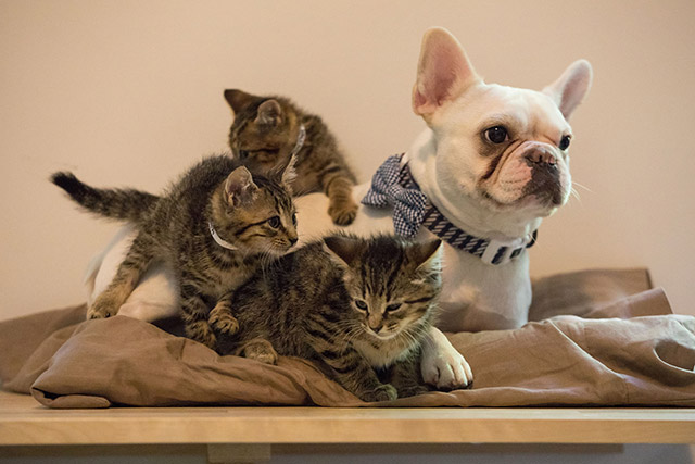 Photos, Video: OMG This French Bulldog Is A Foster Dad To ASPCA Kittens