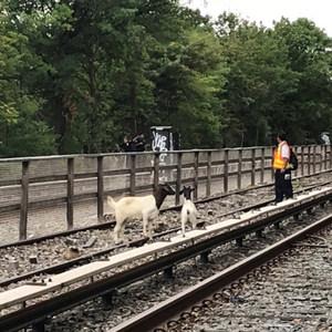 [Updates] Two Runaway Goats Spotted Along N Train Tracks In Brooklyn