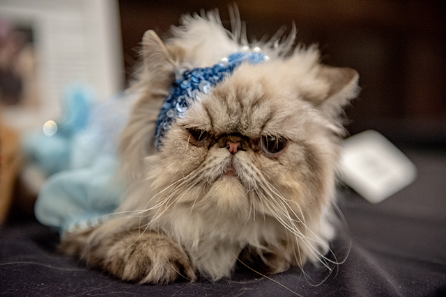 Photos: Cats Get Glammed Up For The 2018 Algonquin Cat Fashion Show
