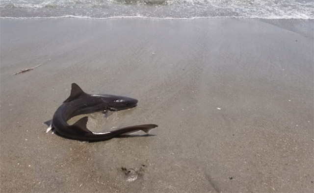 Videos: Adorable Shark Joins Swimmers At Riis Park Beach