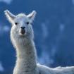 Video: Just A Llama Wandering The Streets Of Brooklyn