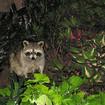 Beware: Distemper-Infected 'Zombie' Raccoons Captured In Prospect Park