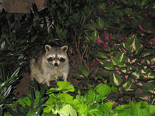 Beware: Distemper-Infected 'Zombie' Raccoons Captured In Prospect Park