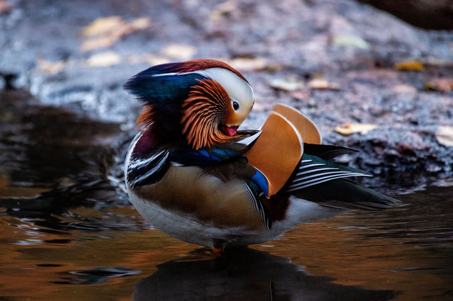 We Now Know Where NYC's Beloved Mandarin Duck Has Been Going When He's Not In Central Park