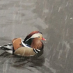 And Now A Brief Moment Of Zen Starring The Mandarin Duck In Snow