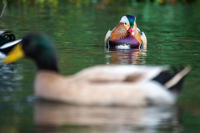 An Exclusive Interview With That Central Park Duck About Where He's Been The Past Few Days