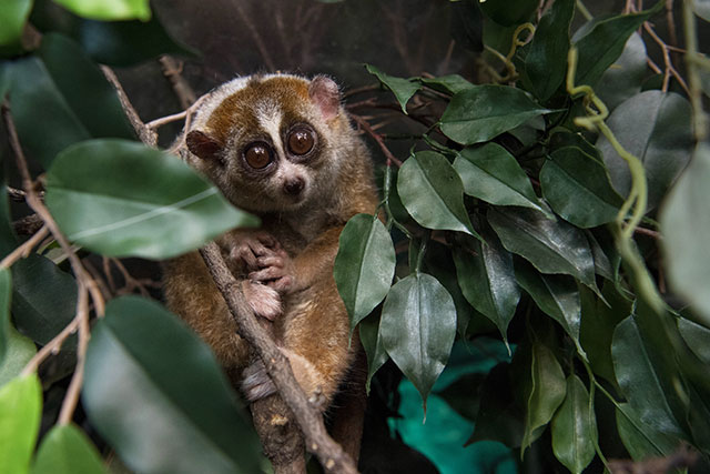 Slow Loris, Tiger, And Markhor, Oh, My! The WCS's Favorite Photos Of 2018