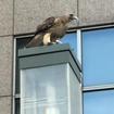 Behold This Hawk Devouring A Pigeon Outside A Brooklyn Subway Station