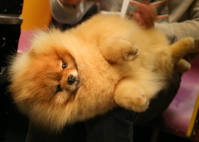 Photos, Video: The Absolute Worst Most Heinous Garbage Dogs Of Westminster Dog Show 2019