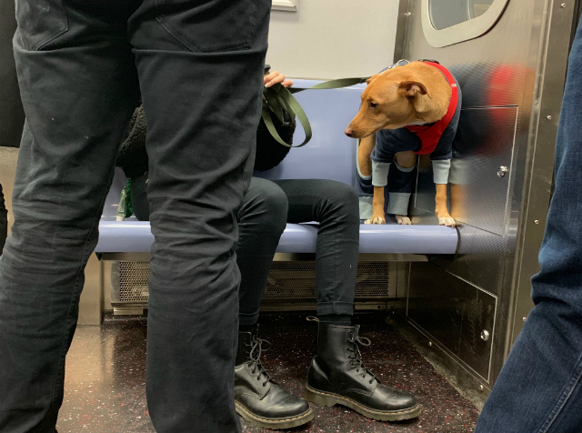 How Mad Can You Really Get At This Dapper Dog Taking Up A Subway Seat?