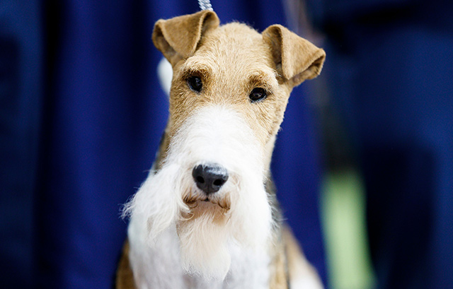King The Wire Fox Terrier Takes Best In Show Crown At 2019 Westminster Dog Show