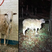 Soaking Wet Sheep Rescued After Being Found Tied To Tree In Brooklyn