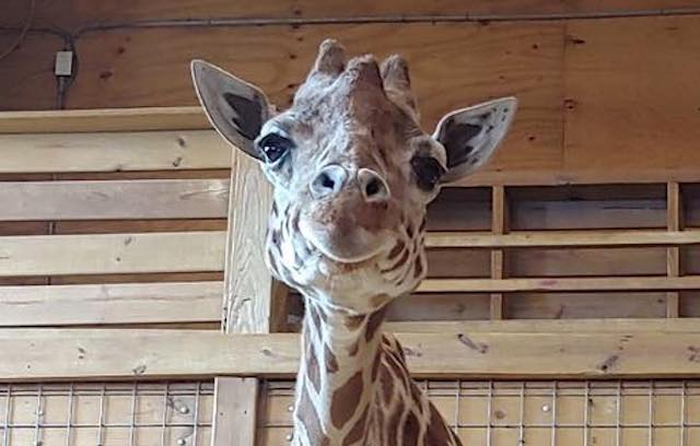 Want To Watch April The Giraffe's Birthing Video?