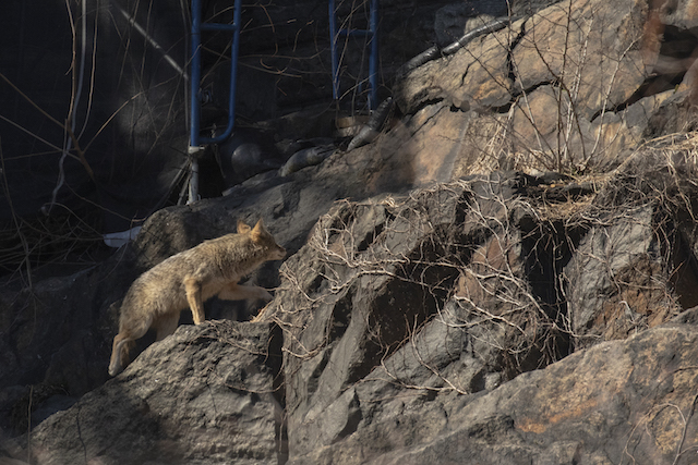 Check Out This Coyote Stalking Its Way Through Central Park