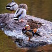 Central Park's Celebrated Mandarin Duck Has Flown Around The Corner For A Pack Of Smokes