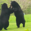 Video: New Jersey Guys Narrating This Big Bear Brawl Should Be Narrating Everything