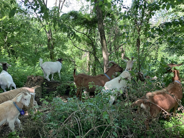 Riverside Park Welcomes 25 Goats For 'Goatham City' Project