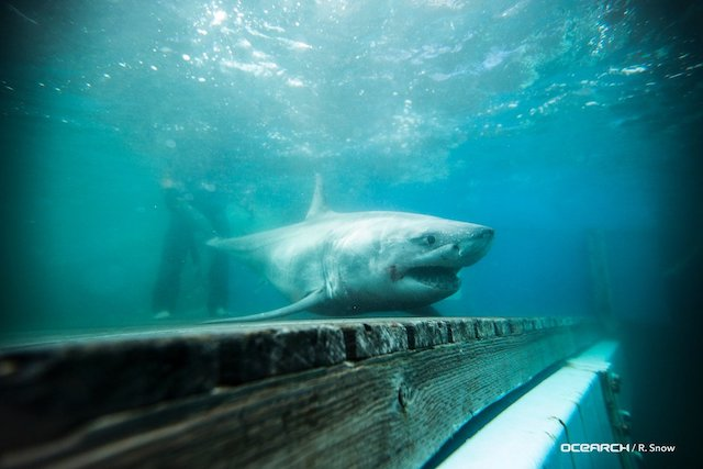 Celebrity Great White Shark Spotted In Long Island Sound