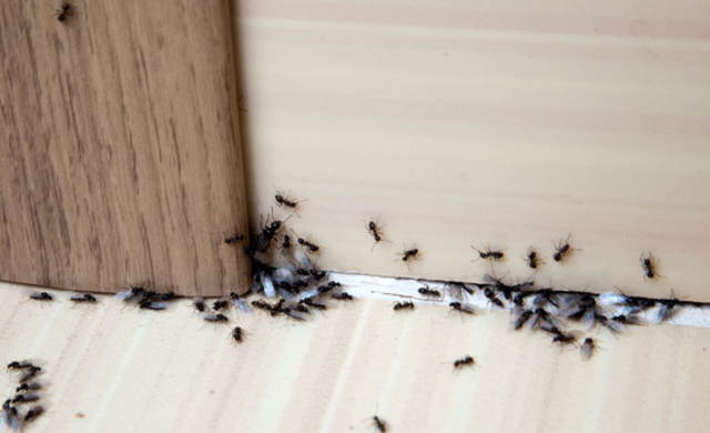How To Get Rid Of Ants? (Seriously HOW?)