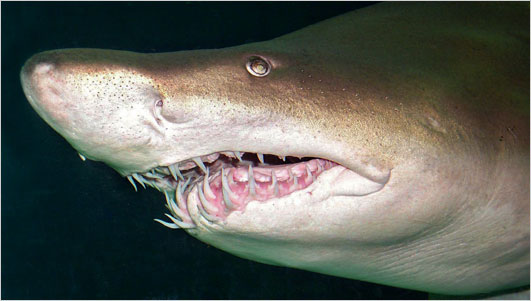 Sand tiger shark picture 2