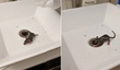Aw, Rat Baby Emerges From Bathroom Sink In Brooklyn