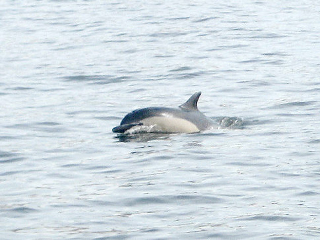 Dolphin in the East River (2010)
