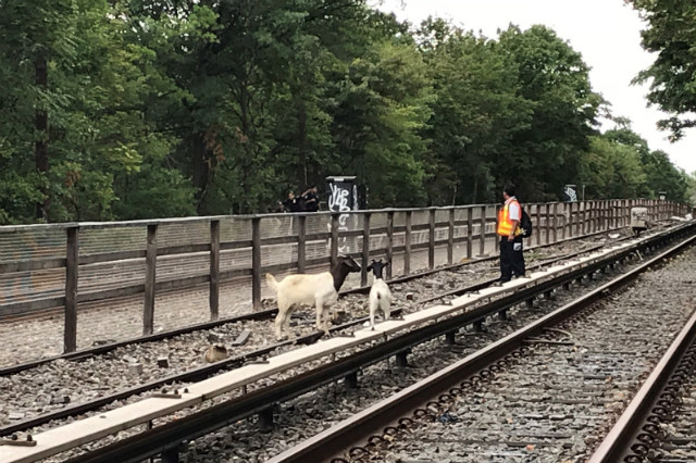 Jon Stewart helps rescue two goats found roaming on Brooklyn subway tracks