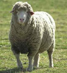 an australian sheep farmer