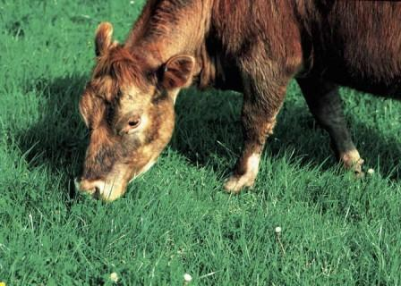 Eating Cows That Eat Grass