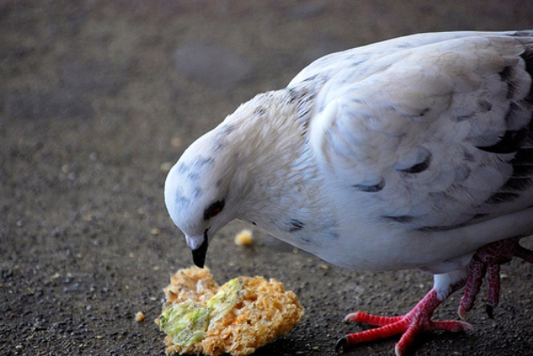 A pigeon eating food left behind by humans.