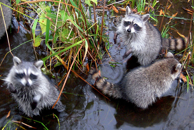 Dozens of raccoons dead in Central Park after 'zombie-like' virus