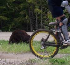 whistler-brown-bears.jpg